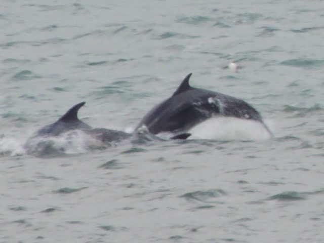 Dolphin spotting on North Coast 500 route on east coast near Fortrose